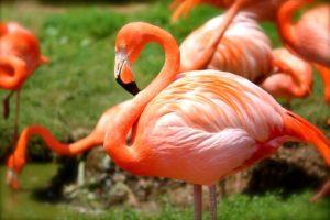 flamingo-635700_1920